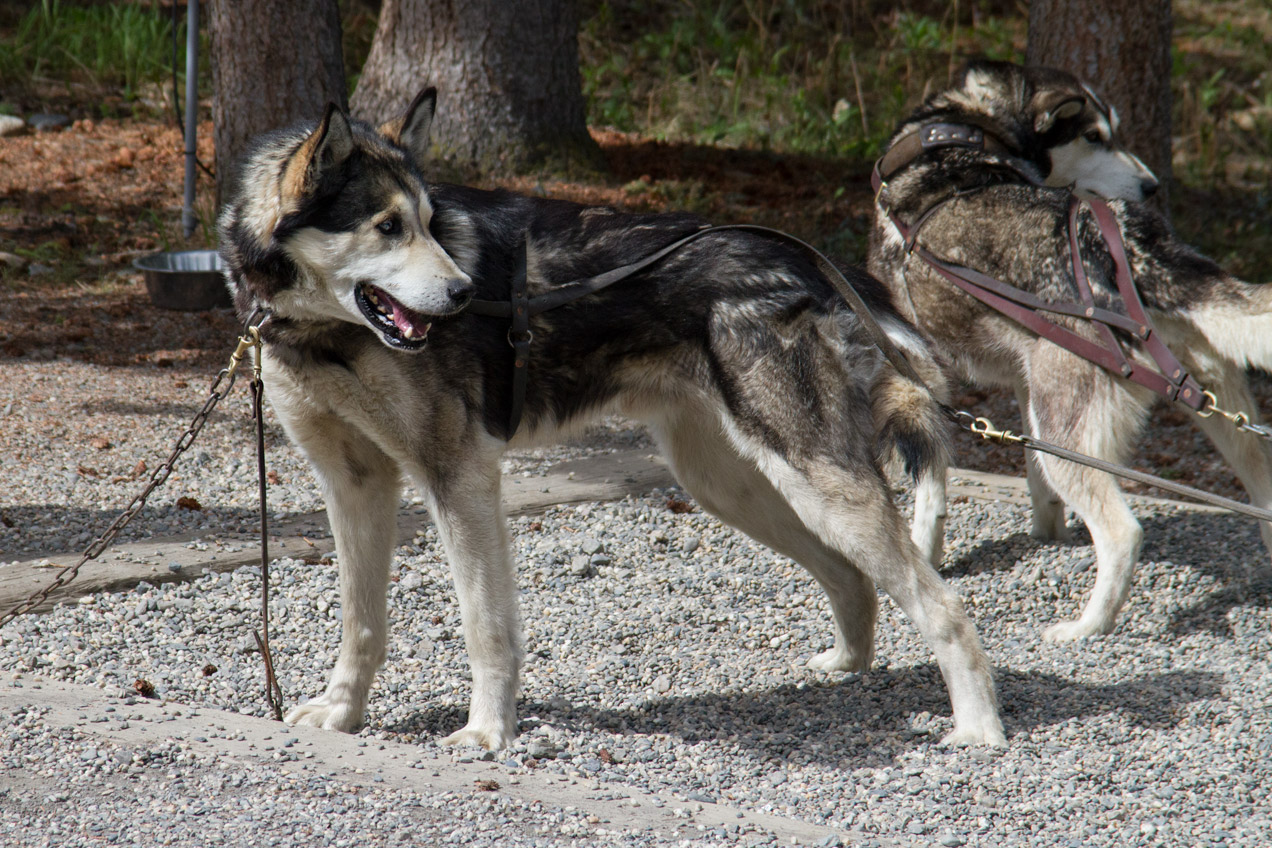 Sled dogs of Denali ready to go