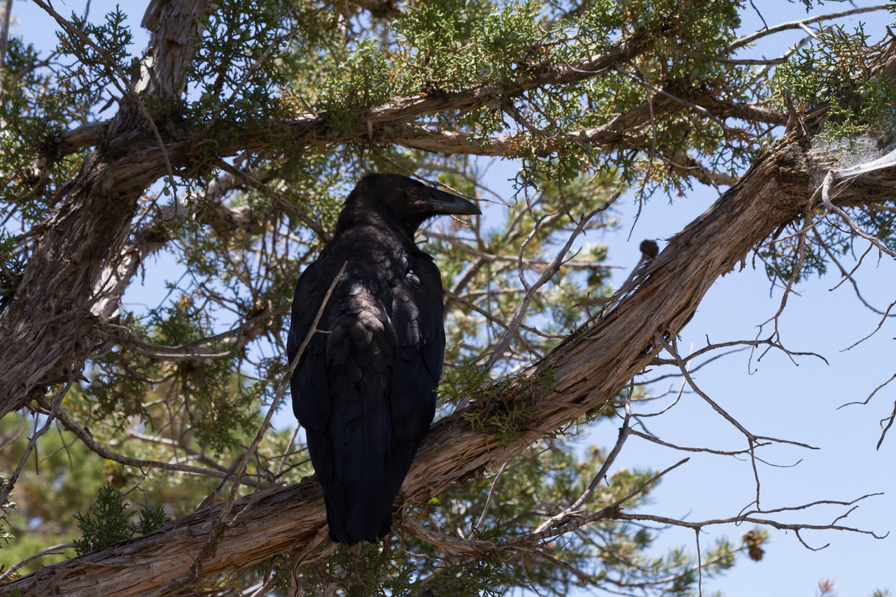 A crow in the shade